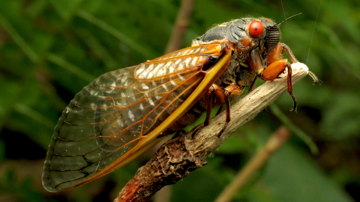 Cicada Safari App: How to Track Millions of Emerging Brood X Cicadas in US? This Interactive Map Will Help You to Find the Insects' Location